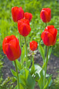 Red Tulips Stock Photos - 5096863