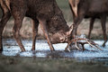 Red Deer Stag Fights Reflection In Water Stock Photo - 50903060