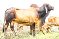 Brown Cow Pasture Stock Photography - 50919162