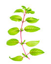 Green Branch Of Fuchsia With Long Leafs Is Isolated On White Bac Stock Photos - 50937153