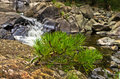 Small Fir Branches And Rocks In Water At Black River Gorge Stock Images - 50945864