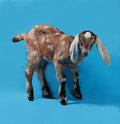 Black, White And Red Nubian Lamb On Blue Stock Photos - 50952593