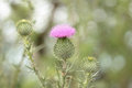 Thistle Stock Photography - 50966412