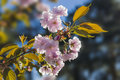 Flowering Branch Of Cherry Blossom Stock Photos - 50974523