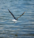 Sea Gull Flying Royalty Free Stock Images - 50991549