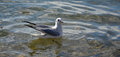 Sea Gull In A Water Royalty Free Stock Photo - 50995145