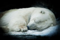 Sweet Dreams Of A Polar Bear, Isolated On Black Background. Stock Images - 50998934
