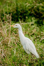 Cattle Egret Royalty Free Stock Photos - 50999998