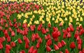 Tulips Stock Images - 513774