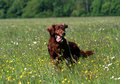 Irish Setter Stock Images - 5105594