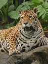 A Photo Of A Male Jaguar Royalty Free Stock Photo - 5107145