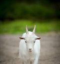 Little White Goat Stock Photo - 51004690