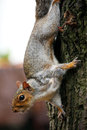 Grey Squirrel Royalty Free Stock Images - 51022979