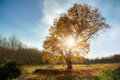 Large Oak Tree In The Autumn Royalty Free Stock Photos - 51030678