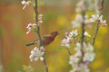 Male House Finch Stock Image - 51042921