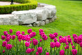 Display Of Colorful Magenta Tulips Stock Images - 51048764