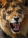 Lion Royalty Free Stock Images - 5115469