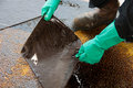 Oil Spill Cleanup On Working Area. Danger For The Nature Stock Image - 51102531
