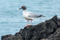 Swallow-tailed Gull, Galapagos Islands Stock Photography - 51127002