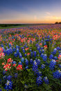 Texas Wildflower -  Bluebonnet And Indian Paintbrush Field In Sunset Stock Image - 51133261