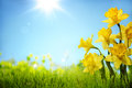 Daffodil Flowers In The Field Stock Image - 51133481