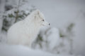 Arctic Fox Royalty Free Stock Images - 51142829