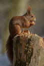 Red Squirrel Royalty Free Stock Image - 51142846