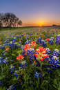 Texas Wildflower -  Bluebonnet And Indian Paintbrush Field At Sunset Royalty Free Stock Photography - 51170427