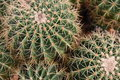 Green Cactus Thorn Close-up Stock Images - 51178914