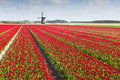 Tulip Field With Windmill Stock Photo - 51231770