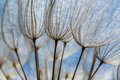 Dandelion Seeds In Close Up Stock Image - 51251111