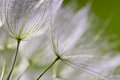 Dandelion Seeds In Close Up Stock Images - 51251234