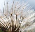 Dandelion Seeds In Close Up Royalty Free Stock Images - 51251699