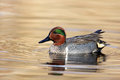 Green-winged Teal Duck Swimming In Golden Pond Stock Photography - 51261232