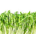 Closeup Green Pea Sprout  On White Background Stock Image - 51262741