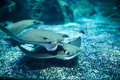 Stingray Fishes Swimming Free In The Aquarium Royalty Free Stock Image - 51263106