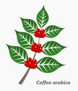 Coffee Plant Royalty Free Stock Images - 51284759