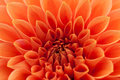 Orange, Red Dahlia Stock Photography - 51292192