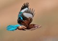 White Throated Kingfisher With Lizard Royalty Free Stock Images - 51293259