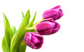 Purple Colored Tulip Flowers Stock Photography - 51296152