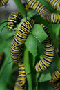 Monarch Butterfly Caterpillars Stock Images - 5133334