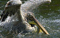 Pelican Stock Photo - 5138370