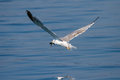 Seagull With Fish In Beak Royalty Free Stock Images - 51330329