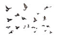 Flying Pigeons Stock Photography - 51338232