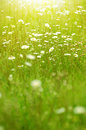 Camomiles On Summer Field Closeup Blurred Green Bokeh As Backgro Stock Photos - 51343623
