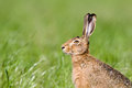European Hare In A Field, Jura, France Stock Image - 51356701