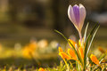 Crocus Royalty Free Stock Photos - 51359608