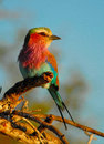 Lilac Breasted Roller Royalty Free Stock Image - 51365176