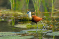 African Jacana Or Lily-Trotter Royalty Free Stock Photography - 51365587