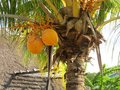 Coconut In Palmtree Stock Images - 51373244